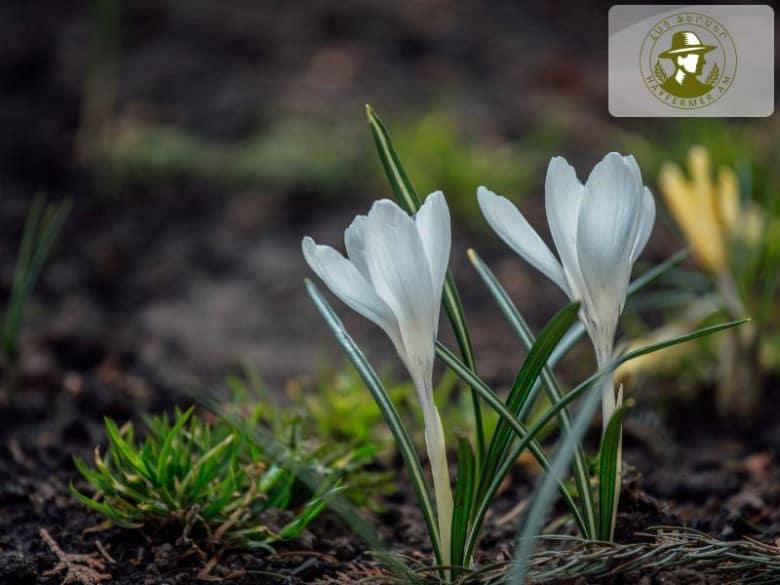 Armenian native flower #1 Snowdrops