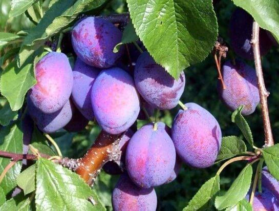 Armenian fruit #6 Plum