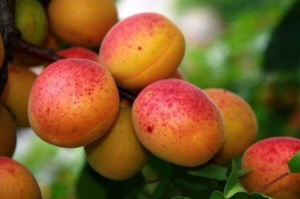 Armenian fruit #1 Apricot
