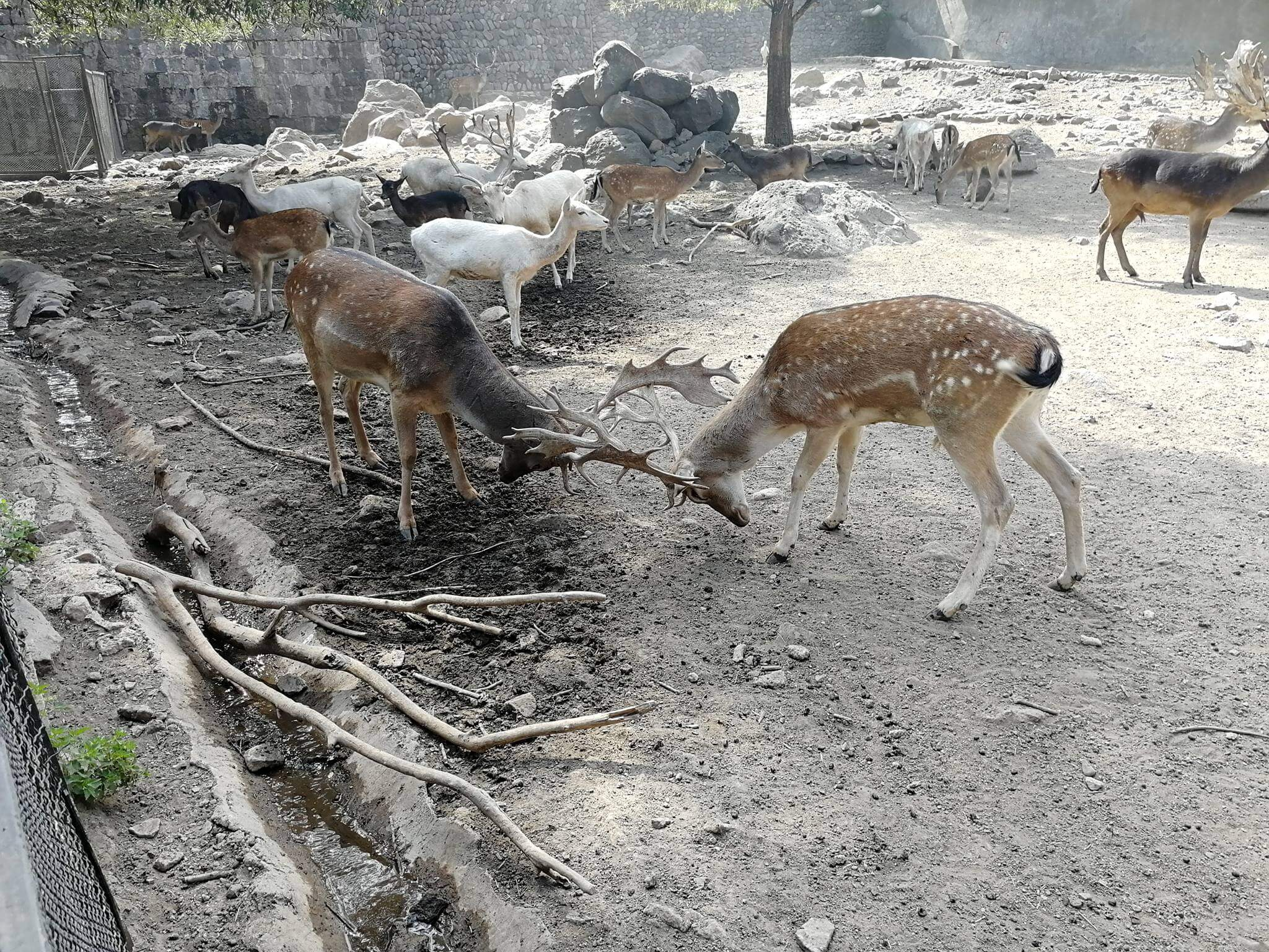 Ереванский зоопарк - Олень