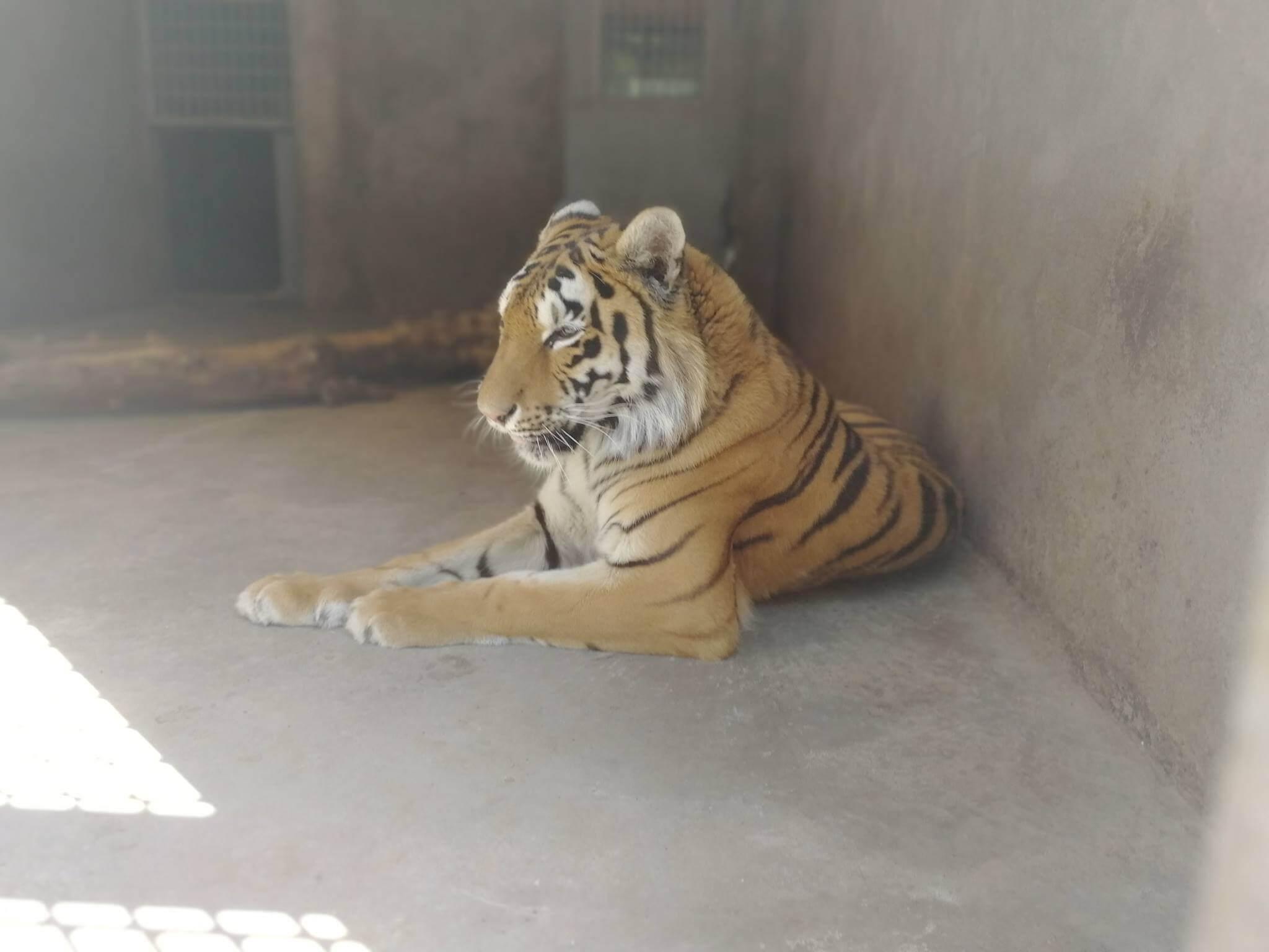 Ереванский зоопарк - Тигр