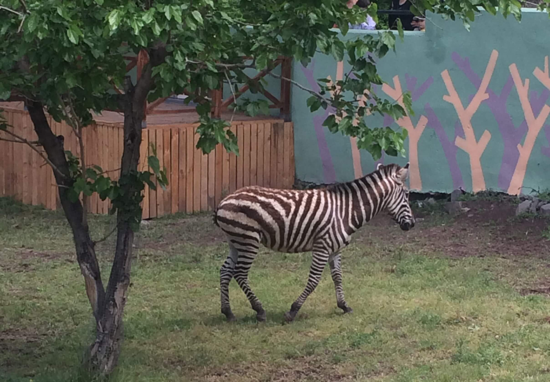 Ереванский зоопарк - Зебра