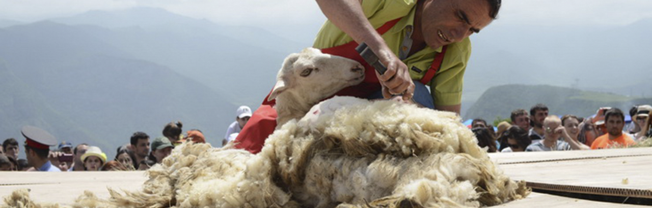 Festival of Sheep Shearing
