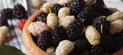 Festival Mulberry – NKR